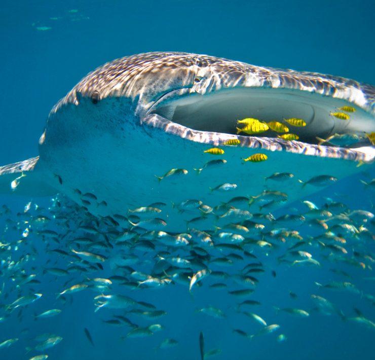Schwimmen mit Walhaien in Westaustralien