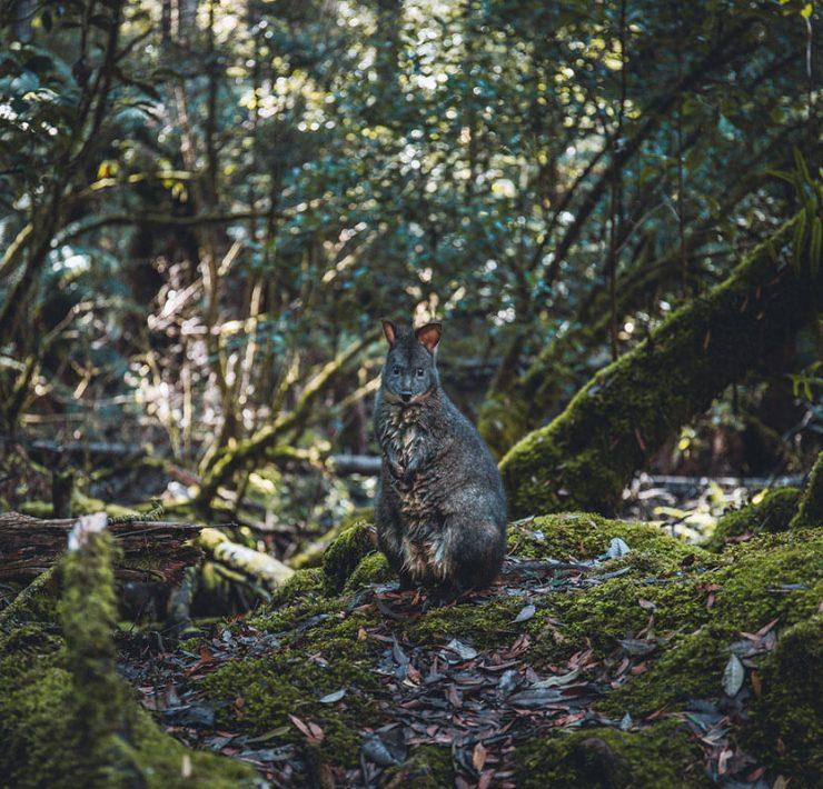 Mount Field Nationalpark Tasmanien