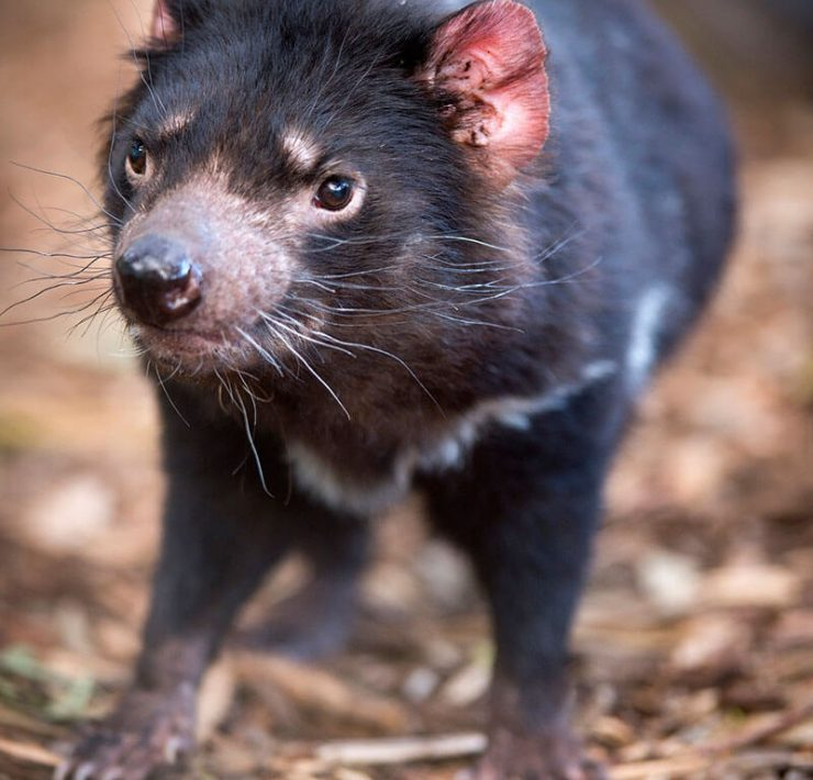 Tasmanian Devil Tasmanien