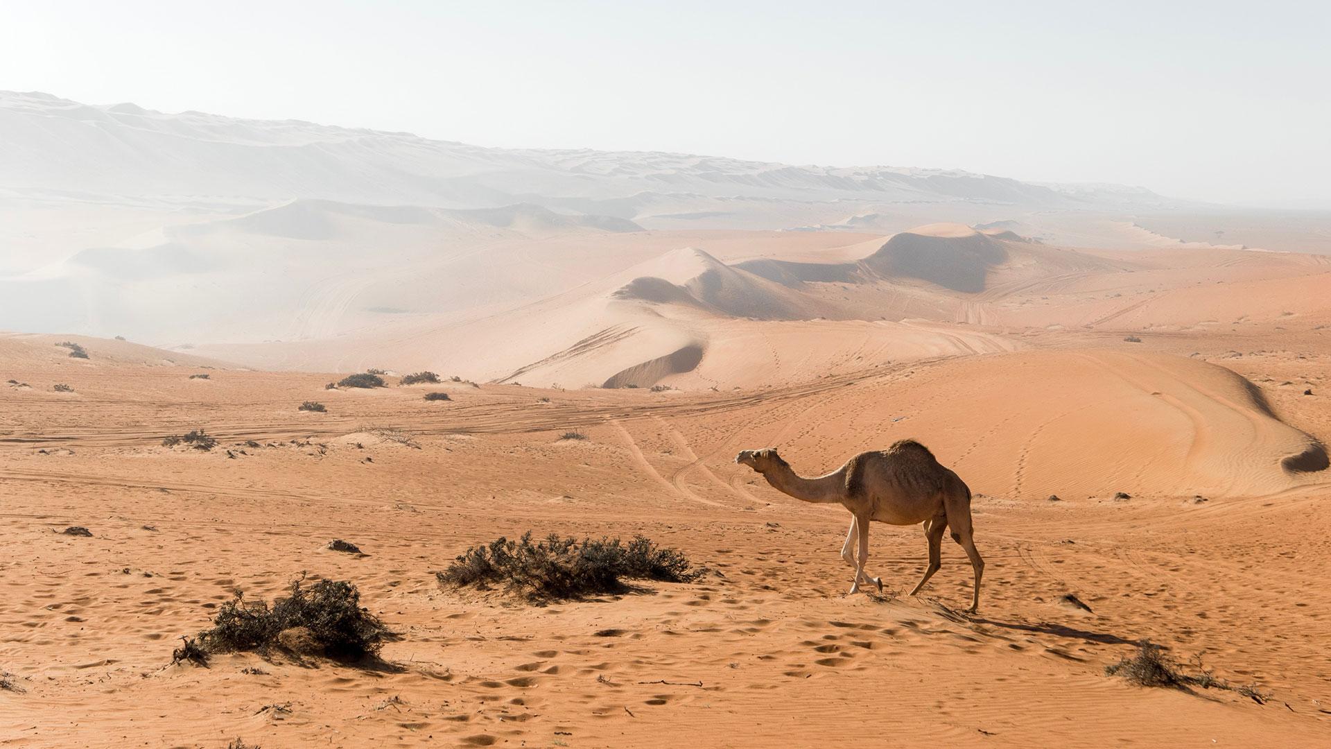 Oman Wüste und Kamel. Luxusreise