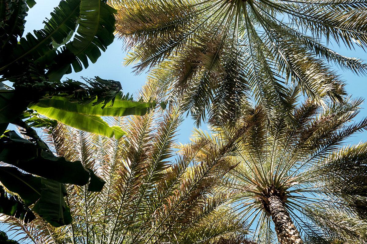 Oman Palmen. Luxusreise