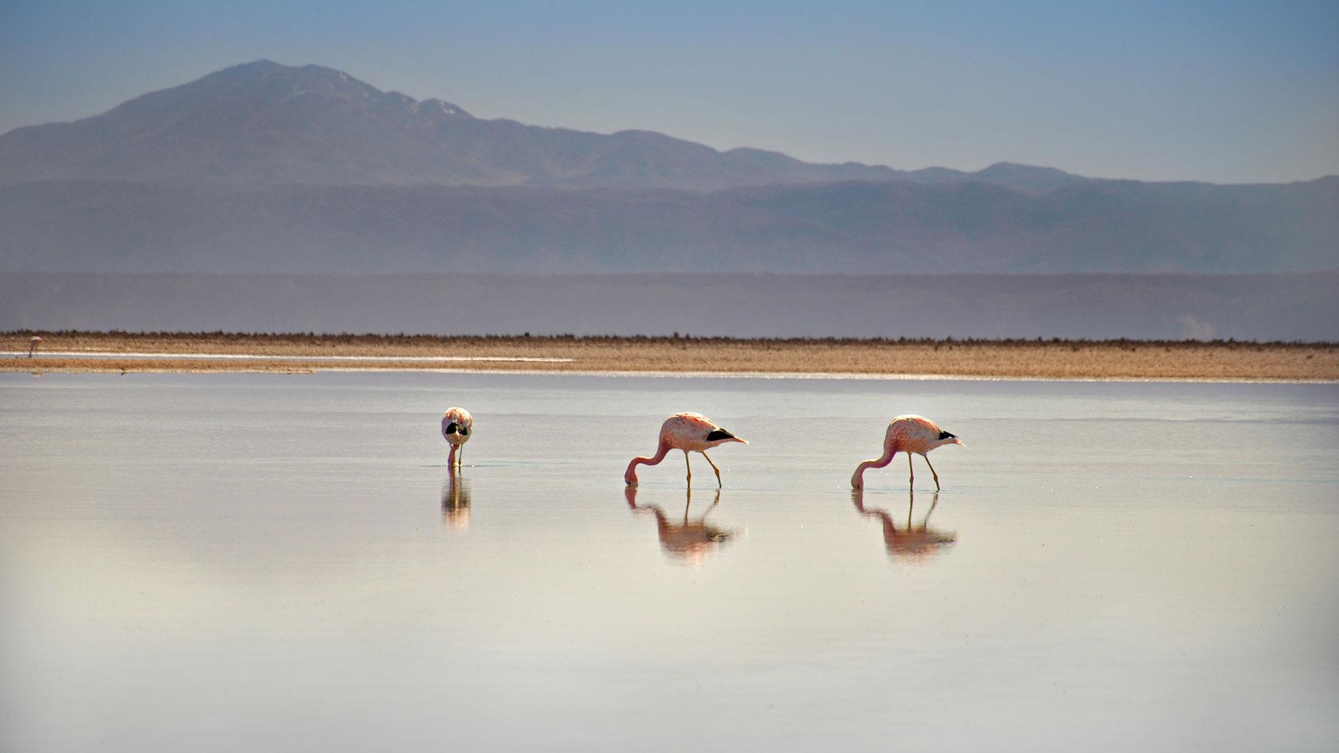Flamingos in Atacama. Best of Chile – Zwei Wochen Naturwunder-Luxusreise mit Zusatzprogrammen Osterinsel, Kap Hoorn, Perito Moreno Gletscher