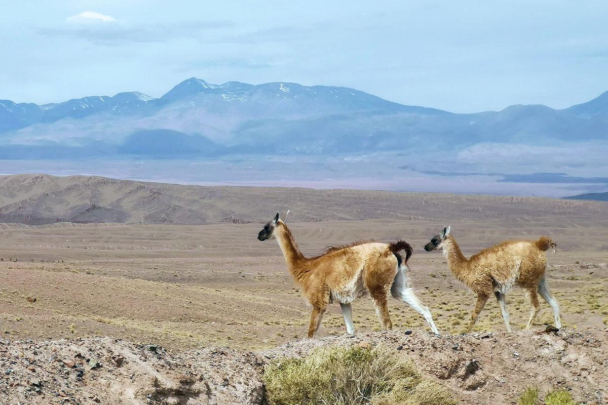 Lamas in der Wüste. Best of Chile – Zwei Wochen Naturwunder-Luxusreise