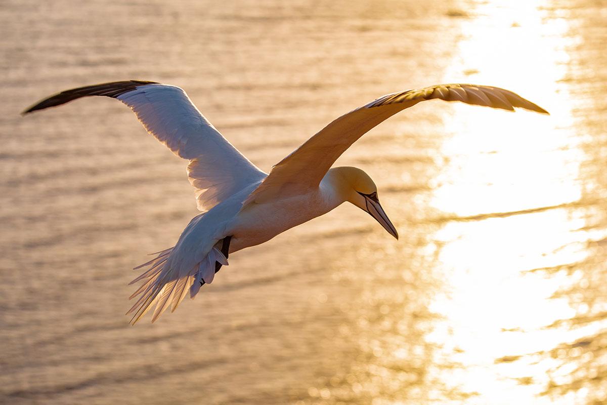 Fünf Vogelarten brüten in Deutschland ausschließlich auf Helgoland, darunter der Basstölpel. Luxusreisen