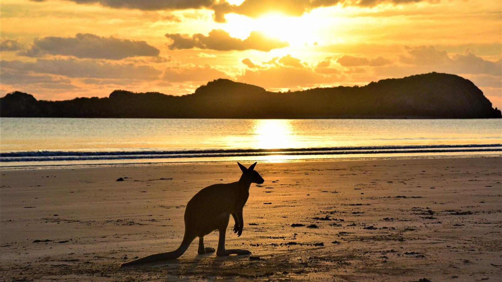 Känguru. Queensland. Luxusreisen